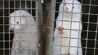 In this Dec. 6, 2012, file photo, minks look out of a cage at a fur farm in the village of Litusovo, northeast of Minsk, Belarus. The Dutch government said Friday Aug. 28, 202