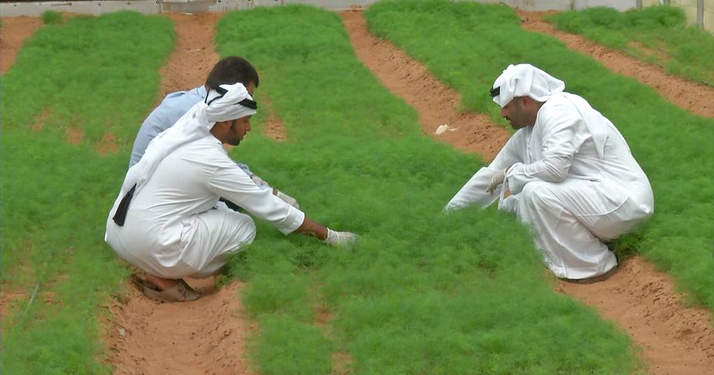 The UAE's sustainable food plan involves growing rice & developing 'soil'
