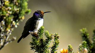 Kolibris: Lauter als der Wind