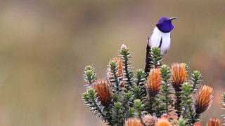 Ekvador Sinek Kuşu