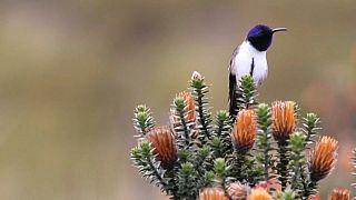 Представители семейства колибри включают ультразвуковые ноты в свои сложные песни.