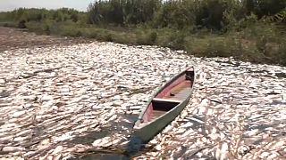 Tote Fische in den Flusssümpfen der Provinz Diwaniyah im Irak