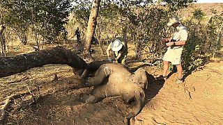 Zimbabwe : Vingt-deux éléphants morts d'une infection bactérienne