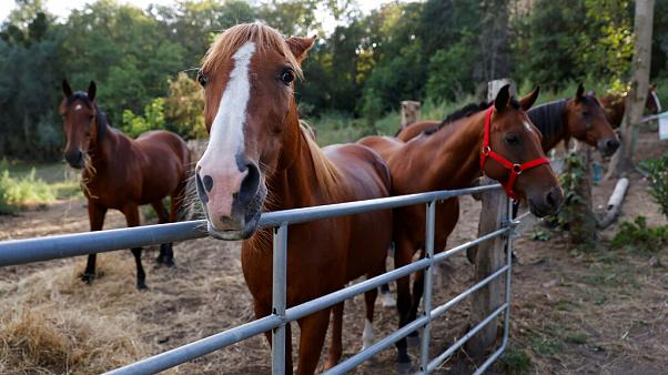 Horses stand in an enclosure at the location of a meeting between local authorities, elected officials and horse breeders whose animals have been victims of mutilation attacks