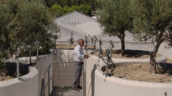 Tecnologie all'avanguardia in aiuto di olivi centenari a Creta