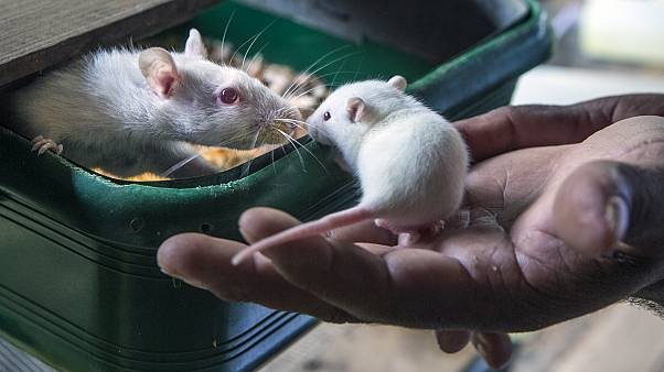فئران مختبرات