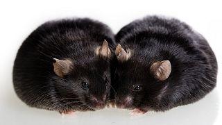 ۴۰ موش سیاه ماده به ایستگاه بینالمللی فضا رفتند و پس از انجام آزمایشها به زمین برگشتند