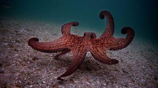 My Octopus Teacher, une histoire d'amour abyssale