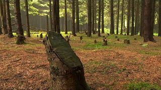 Illegaler Holzeinschlag in Rumänien