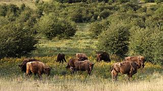 A herd of bisons graze on grass at a wildlife sanctuary in Milovice, Czech Republic, Tuesday, July 28, 2020.
