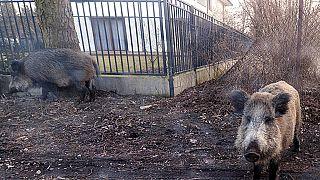 Wildschweine in einem Wohnviertel bei Warschau, 25.März 2018
