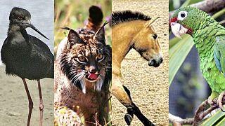A fekete gólyatöcs, az ibériai hiúz, a Przsevalszkij-ló és a Puerto Ricó-i amazon