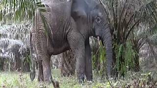 Pesky Ivorian Elephant Relocated to New Safe Home