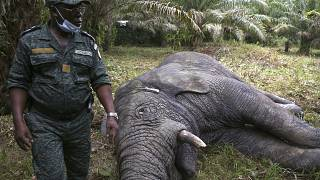 Hamed, l'éléphant sauvage ivoirien de retour au zoo