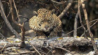 Jaguar en el parque Encontro das Aguas en el humedal de el Pantanal, Pocone, Mato Grosso, Brasil, 13/9/ 2020.