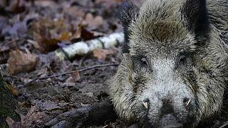 La filière de la viande porcine allemande inquiète, après plusieurs cas de peste porcine africaine