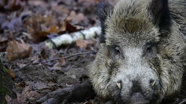 In Brandenburg wurden fünf weitere infizierte Wildschweine gefunden