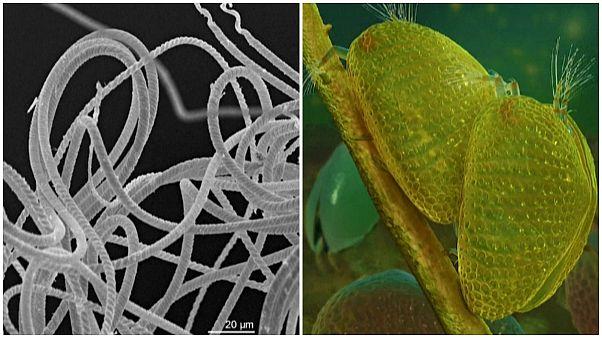 Fosilleşmiş hayvan spermi