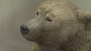 Ecco come doveva essere l'orso delle caverne.