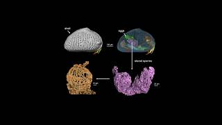 اكتشاف أقدم حيوانات منوية