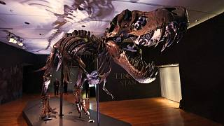 """Stan"" the T-Rex appearing in Christie's display on 49th Street in Manhattan"