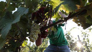 قطف العنب في مزارع الكروم في فيلا جيرمين في أريكيا في ضواحي روما