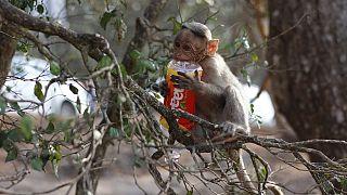 Affe mit Plastikflasche im Baum