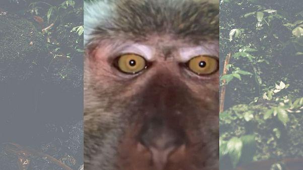 میمون سلفیگیر در مالزی