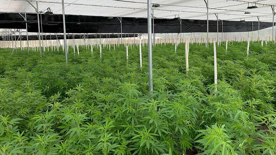 Buy marijuana Vaughan