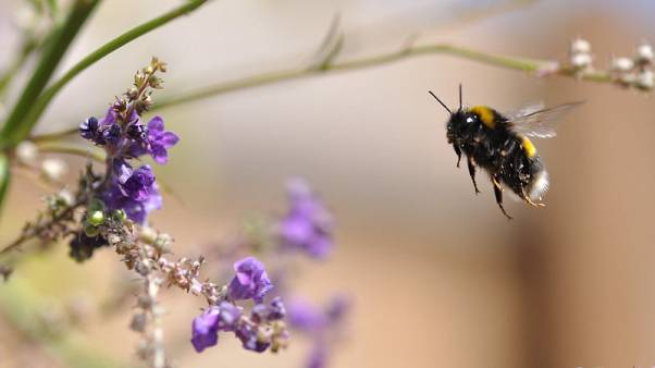 Virágot beporzó méh