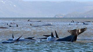 Avustralya Strahan bölgesinde sıkışan balinalar