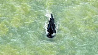 Avustralya'da yolunu kaybederek yanlışlıkla timsahların yoğun olduğu nehre giren dev kambur balina