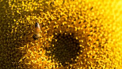Honeybees have been trained to sniff out sunflowers.