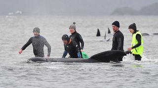 Des secouristes tentent de remettre à flot des dauphins-pilotes à Macquarie Harbour - Tasmanie - le 22 septembre 2020
