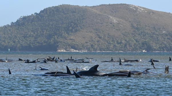 A pod of whales stranded on a sandbar in Macquarie Harbour on the rugged west coast of Tasmania