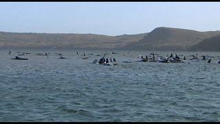 Baleias encalhadas na ilha da Tasmânia