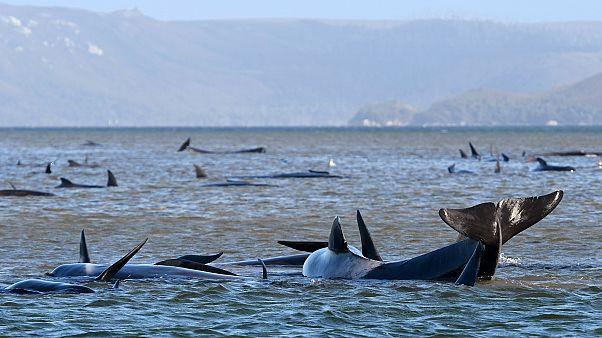 Pilot whales lie stranded on a sand bar near Strahan, Australia, on Monday, September 21, 2020.