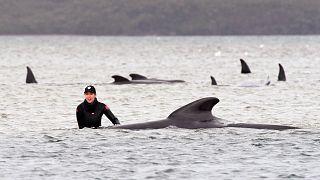 Partra sodródott gömbölyűfejű delfinek Ausztráliában