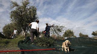 Σοδειά ελιάς στην Ελλάδα