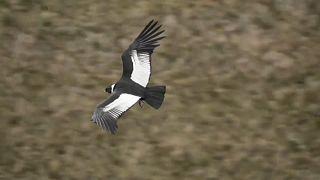 Un cóndor vuela en un parque natural de Ecuador