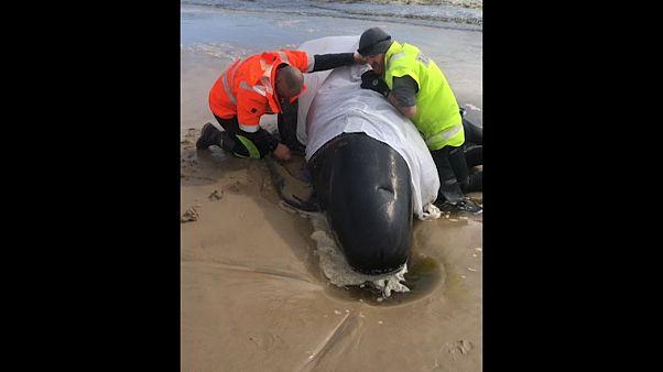 Centenas de baleias encalham na Tasmânia