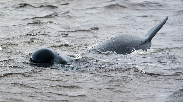 أحد الحيتان العالقة
