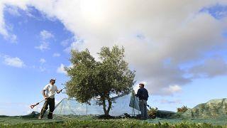 Olivicultores gregos queixam-se das alterações climáticas