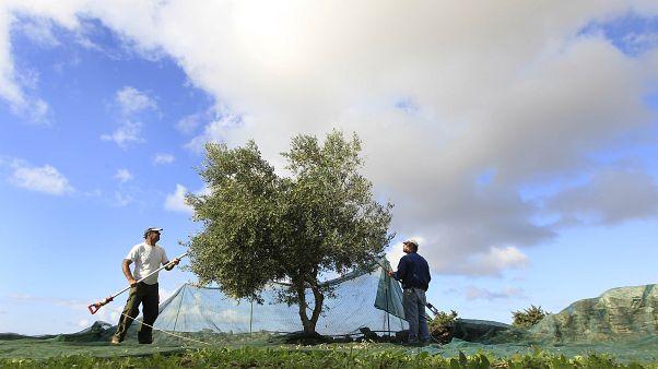 Illustration / Récolte de deux agriculteurs sur un olivier près d'Alyki, sur l'île de Paros, en Grèce, le mardi 16 novembre 2010