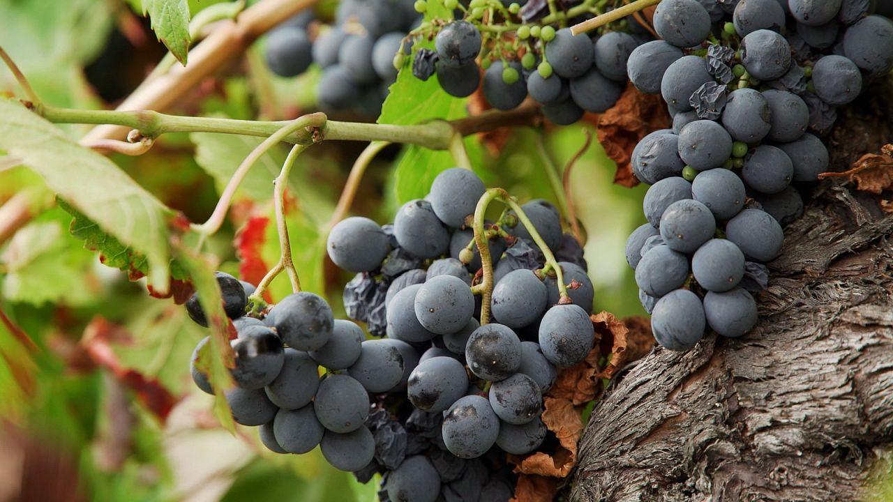 Il Cammino di Santiago, una sorprendente strada del vino