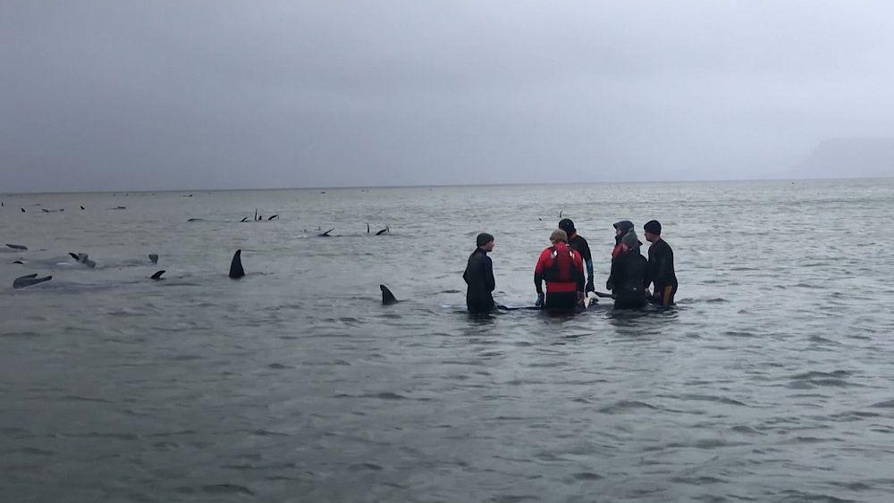 Avustralya'da sığ sularda mahsur kalan 500'e yakın balinadan en az 380'i hayatını kaybetti