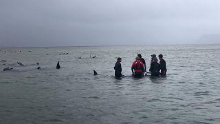 Avustralya'da sığ sularda mahsur kalan balinalardan 380'inin öldüğü tespit edildi