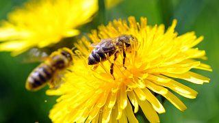 نحل العسل، جنوب ألمانيا، 9 أبريل 2011