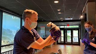 شاهد: ديسم باندا عملاق يخضع لفحص طبي في حديقة حيوانات في واشنطن