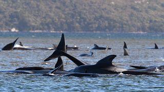 Au moins 380 globicéphales ont péri depuis qu'ils ont été découverts échoués sur des bancs de sable d'une baie située sur la côté ouest de l'île de Tasmanie.